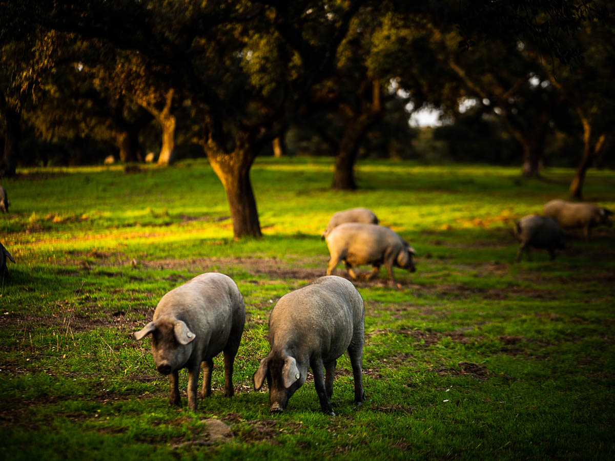 productos ibéricos de la sierra norte de Sevilla cerdo en la dehesa
