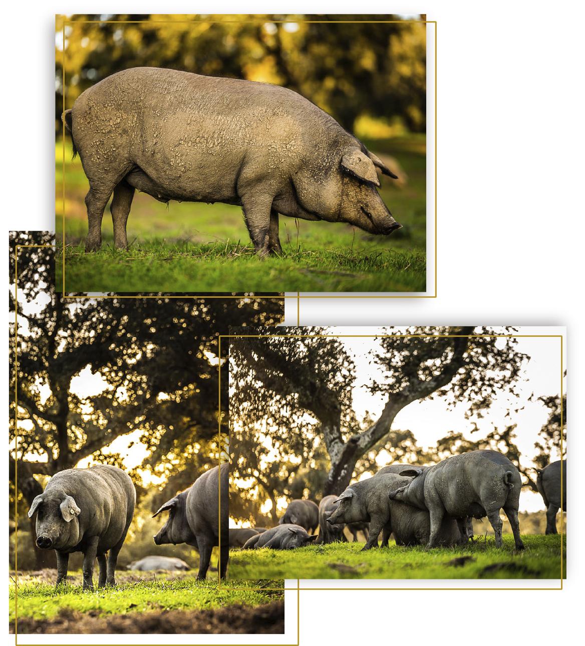 alimentación del cerdo ibérico